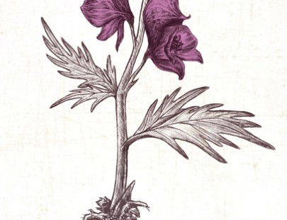 Aconite Botanical illustration