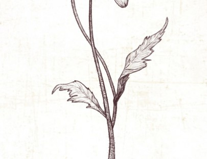 Poppy Botanical Illustration
